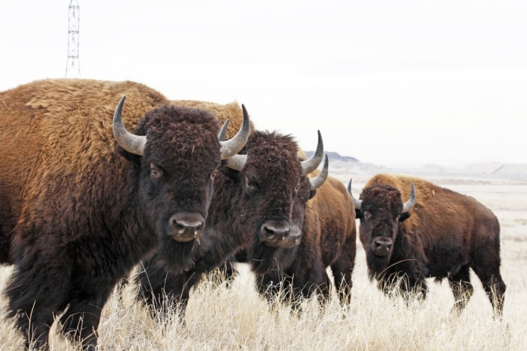 rocky_mtn_arsensal_nwr_john_carr_usfws_bison